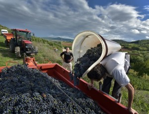 Harvest in Boudes