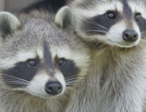 raccoons in Auvergne Animal Park