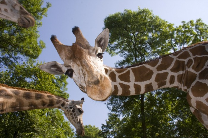giraffes, Animal Park of Auvergne, in Ardes sur Couze