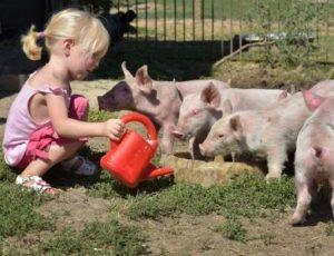 Ferme pédagogique de la Moulerette à Montpeyroux, nourrissage des cochons