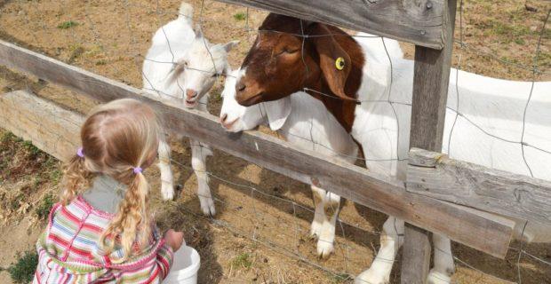chèvre à la ferme pédagogique de la moulerette