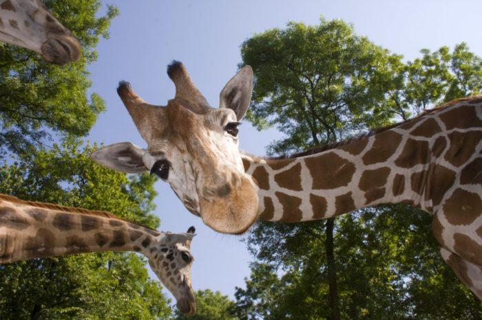 girafes au parc animalier d'Auvergne à Ardes sur couze