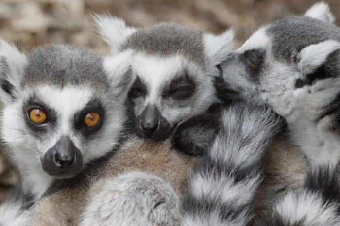 Lémuriens au parc animalier d'Auvergne
