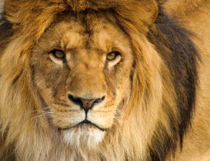 Unique : découvrez la passerelle aux lions au Parc Animalier d'Auvergne