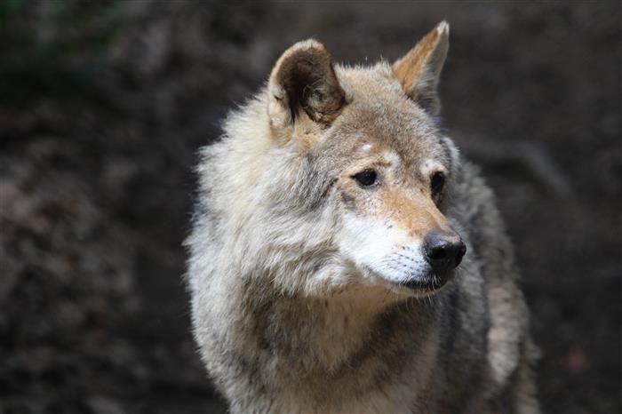 Loup Gris - Parc Animalier d'Auvergne