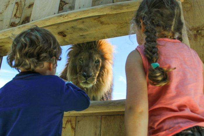 enfants devant un lion au Parc Animalier d'Auvergne