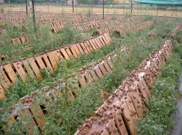 élevage d'escargot à Jumeaux en Auvergne