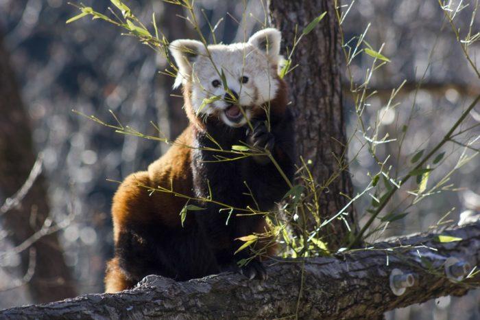 Pandas roux au Parc Animalier d'Auvergne