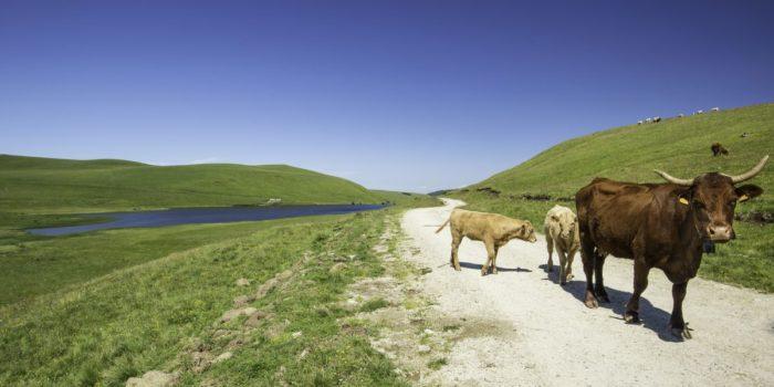 vaches près du lac de la roche orcine dans le cézallier