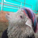 SAUXILLANGES La Ferme douce laine