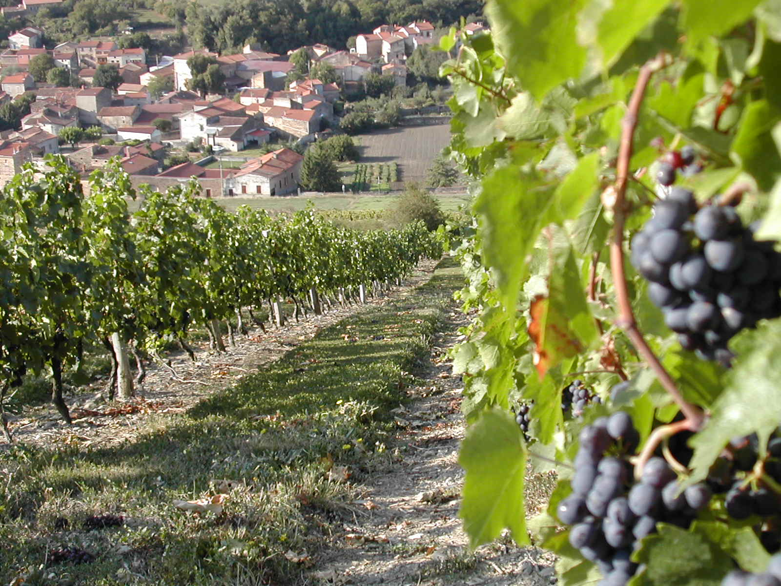 boudes vu des vignes