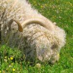 Ferme douce laine à Sauxillanges