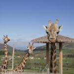 girafes, Parc Animalier d'Auvergne