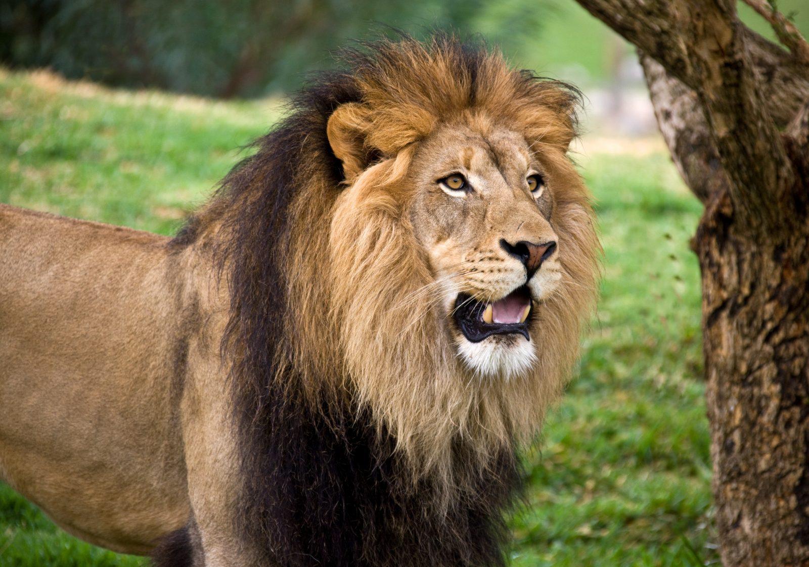 Lion, parc-animalier-auvergne