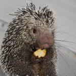 Coendou, parc-animalier-auvergne