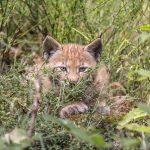 Lynx,parc-animalier-auvergne