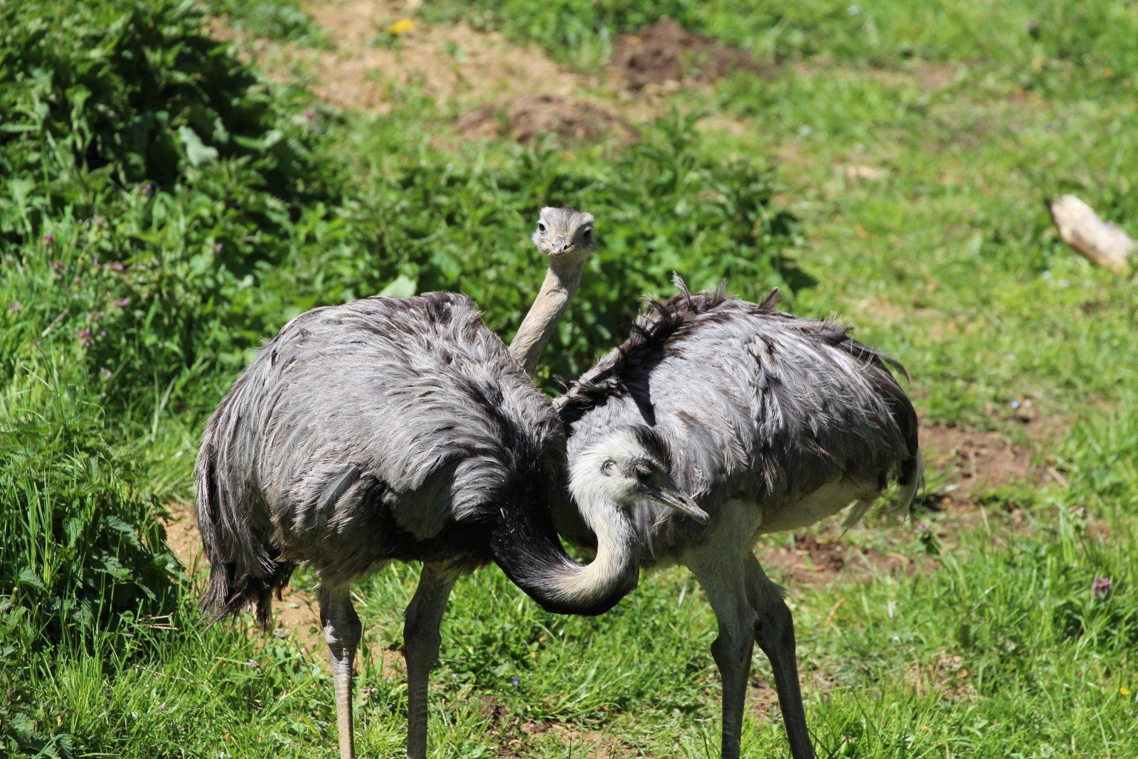 nandou, parc-animalier-auvergne