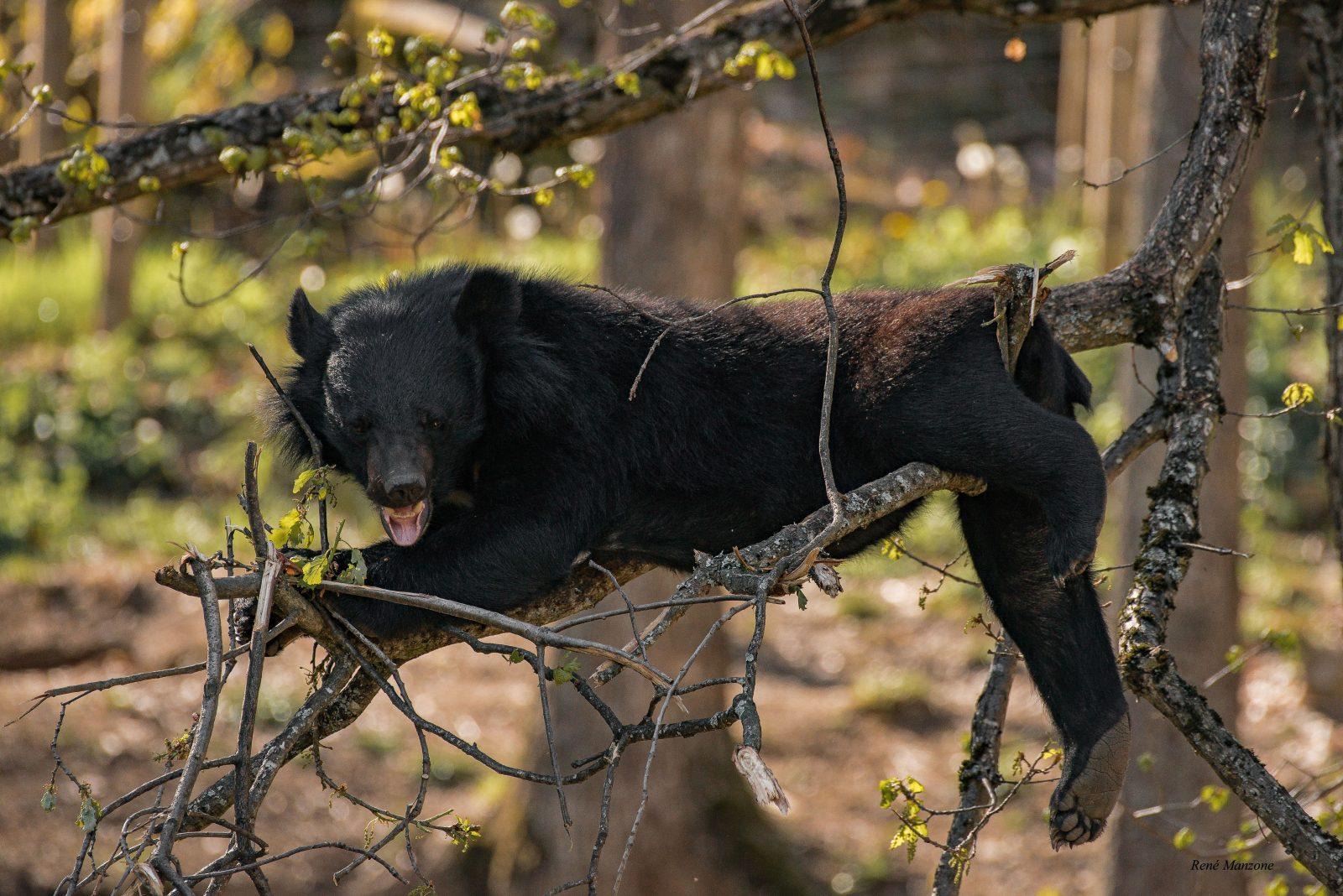 Ours au parc-animalier-auvergne