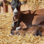 La chèvrerie d'Eugénie à Sugères