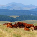 Vaches rouges / la Godivelle